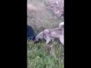 Kangal VS Rottweiler (кангал ротвейлер Собачьи бои)
