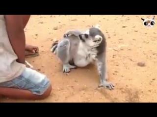 Лемур требует ласки