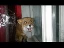 Лиса лает на собаку за окном / The fox barks at the dog outside.