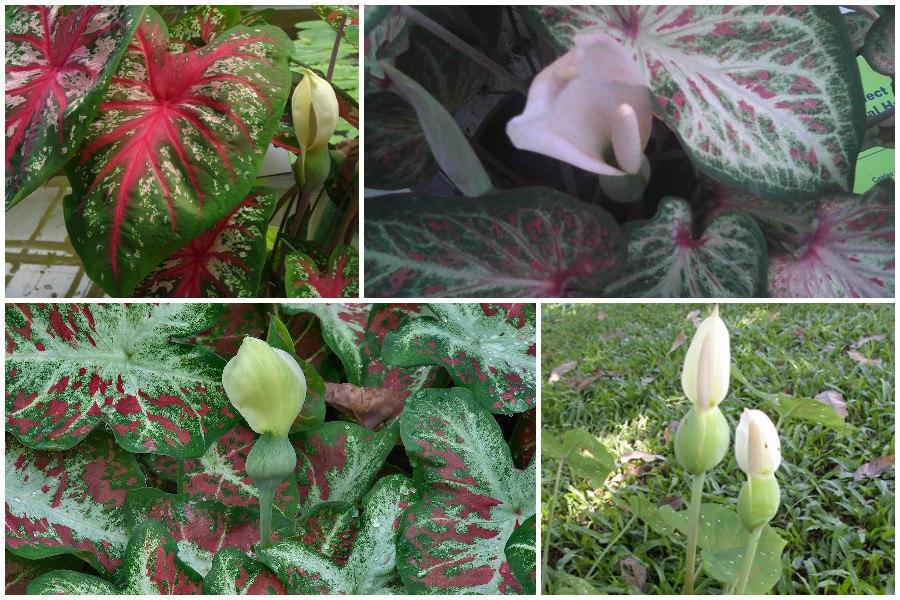 Каладиум-уши слона, фото, условия выращивания-цветы каладиума