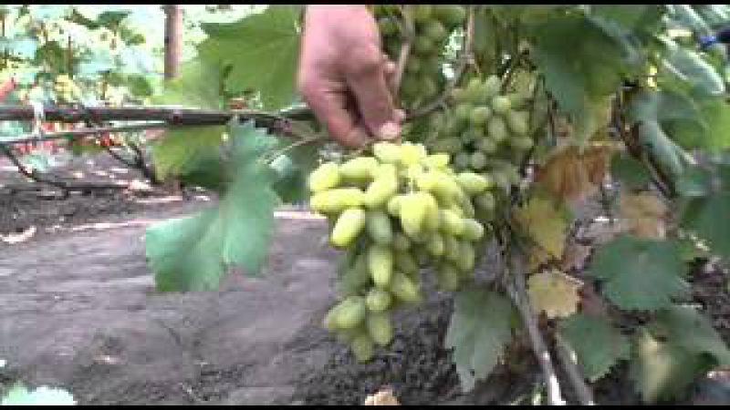 Виноград от Валерия и Бронислава Гранковских