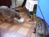 Жадные кошаки