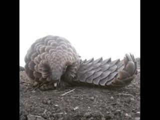 Панголин. Самые необычные животные в мире. Интернет-портал для владельцев домашних животных zoostores.ru