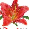 Redlily. Цветы в жизни
