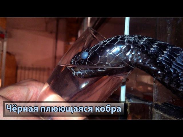 Чёрная плюющаяся кобра