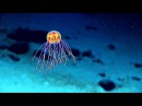 Jellyfish 2016 Deepwater Exploration of the Marianas