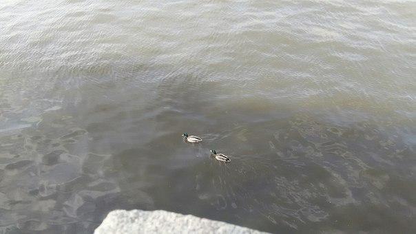 В Москве плавают утки. Здесь вообще много всяческих птиц. И много разных видов.
