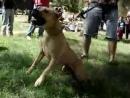 чемпион мира по собачьим боям.240