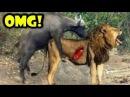 Lion Attack Buffalo To Death, Lions vs Buffalo Real Fight 🌟 Big Battle Wild Animal Attacks #59