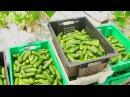 Выращиваем овощи на малообъемной гидропонике
