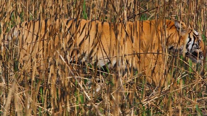 Вот для этого тигру и нужна такая раскраска