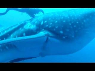 Спасение китовой акулы | Животные