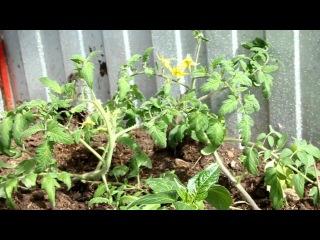 распопов рассада томатов в тепличке и на улице 29 апреля