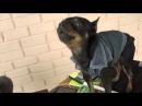 Singing Dog Toy Terrier