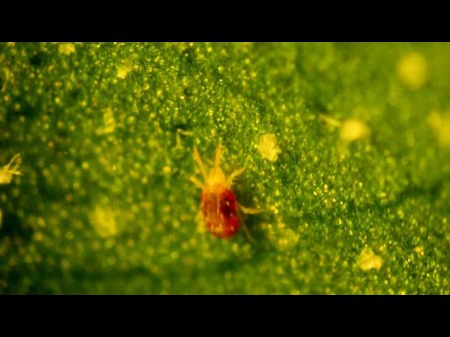 Красный паутинный клещ Tetranychus cinnabarinus, самка
