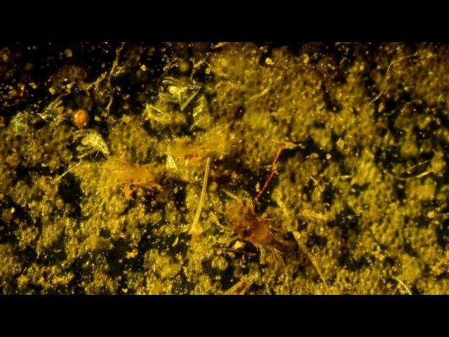 Красный паутинный клещ Tetranychus cinnabarinus самка и самцы
