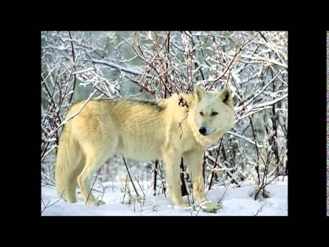 Белый Волк-муз.и слова Ник Ким(Арамис)