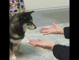 Японская собака породы сиба-ину, покорила пользователей сети, своей реакцией на фокус (InstagramRIP)