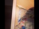 Говорящий попугай. Корелла нимфа Вениамин