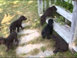 Все породы собак.Додлеман пинчер (помесь добермана с пуделем) (Doodleman Pinscher)