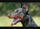Все породы собак.Доберман пинчер Doberman Pinscher