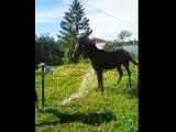 Oks. Русский рысак ,Свияг -Облачная
