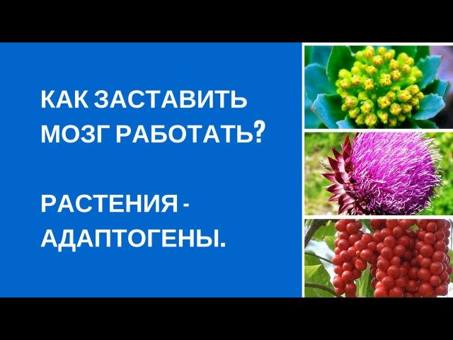 Как заставить мозг работать Растения адаптогены.