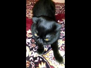 Вычёсывание чёрного кота Мишки