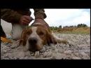 Дрессировка и натаска легавых собак