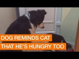 Border Collie Reminds Cat to Save Some Dinner For Him (Storyful, Dogs)