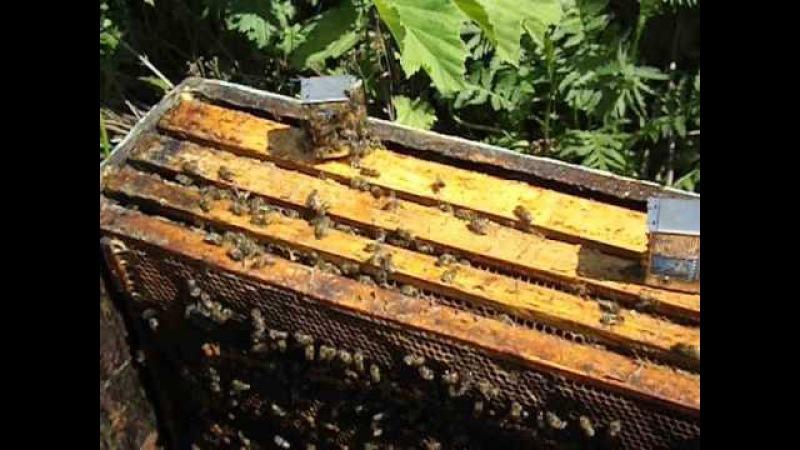подсадка к пчелам не плодных маток