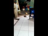Рыжий кот наблюдает за дракой двух крыс Таиланд