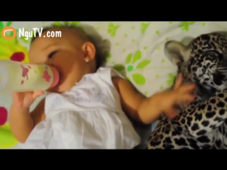 Leopard and baby bottle feeding - baby human and leopard drinking milk from bottles at alaska