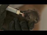 Реанимировать младенца Серой лисы, Просто добавь тепла. To Revive a Baby Gray Fox, Just Apply Heat