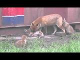 Мать Лиса берёт Лисят на уроки охоты.  Mother Fox Takes Baby Fox On Hunting Tour
