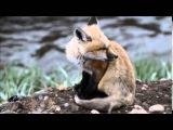 Лисенок зовет маму.  Baby Red Fox Calling!