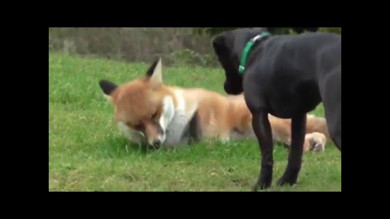 Домашняя Лиса Fuzzy играет во дворе со своей подругой собакой. / Fuzzy the Pet Fox Plays in the Yard with His Dog Friend
