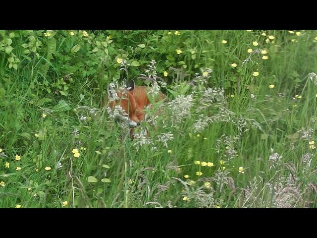 Фокси - городская лиса. / An Afternoon Visitor - Foxy, an urban fox