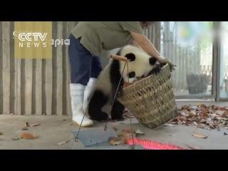 Это пушистое чудо: Малыши гигантской панды балуются в вольере