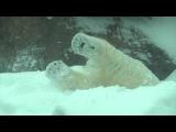 Oregon Zoo polar bear Nora play in Portland snow 2017