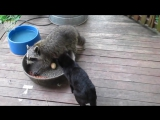 ТОП 5 Лучшие видео с енотами 3. Енот кошку достает.