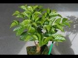 Как вырастить кофейное дерево в домашних условиях. Кофе аравийский в горшке