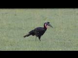 Abyssinian ground hornbill / Абиссинский рогатый ворон / Bucorvus abyssinicus
