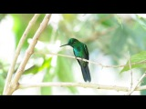 Green-crowned brilliant Зеленошапочный бриллиант Heliodoxa jacula