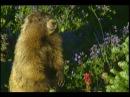 Hoary marmot / Седой сурок / Marmota caligata