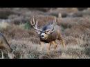 Mule deer Чернохвостый олень Odocoileus hemionus