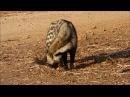 African civet Африканская циветта Civettictis civetta