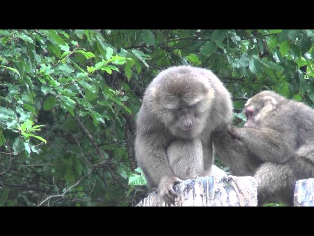 Tibetan macaque / Макак Давида / Macaca thibetana
