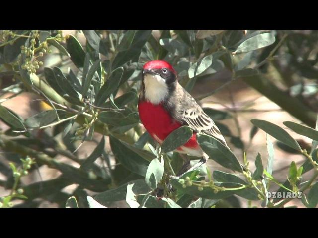 Красногрудая чекановая трясогузка / Crimson Chat / Epthianura tricolor