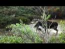 лось против стаи волков. дикий мир и поведение животных в нем.